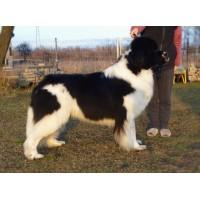 newfoundlanddog database - Newfoundlanddog database